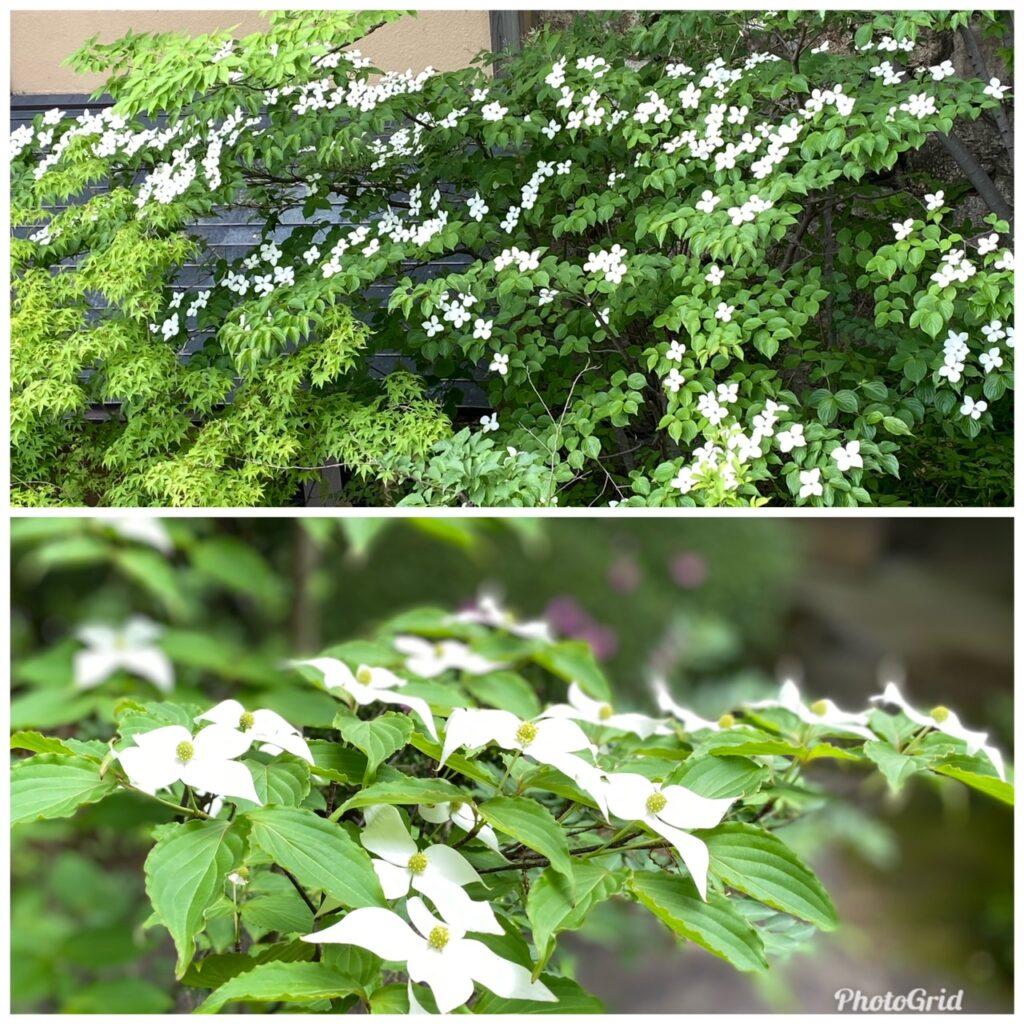 ヤマボウシ咲き始めました